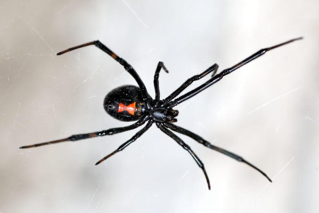 Black Widow Spider Bites: What They Look Like and How to Treat Them